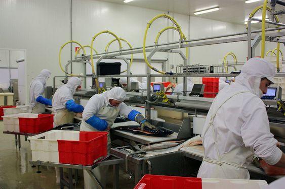 16 ANLEGG: Aker Seafoods har fabrikker både i Norge, Danmark og Frankrike. Aker Seafoods skal deles i to selskaper, ett som skal stå for videreforedling og salg, og ett som skal stå for fangstdelen. Her ser vi produksjonen ved ett av anleggene i Frankrike.