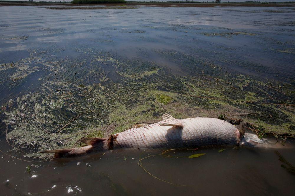 En død hornfisk i et myrområde i den amerikanske delstaten Louisiana. Flere mil med sårbare våtmarker i delstaten skal være ødelagt av oljesøl.