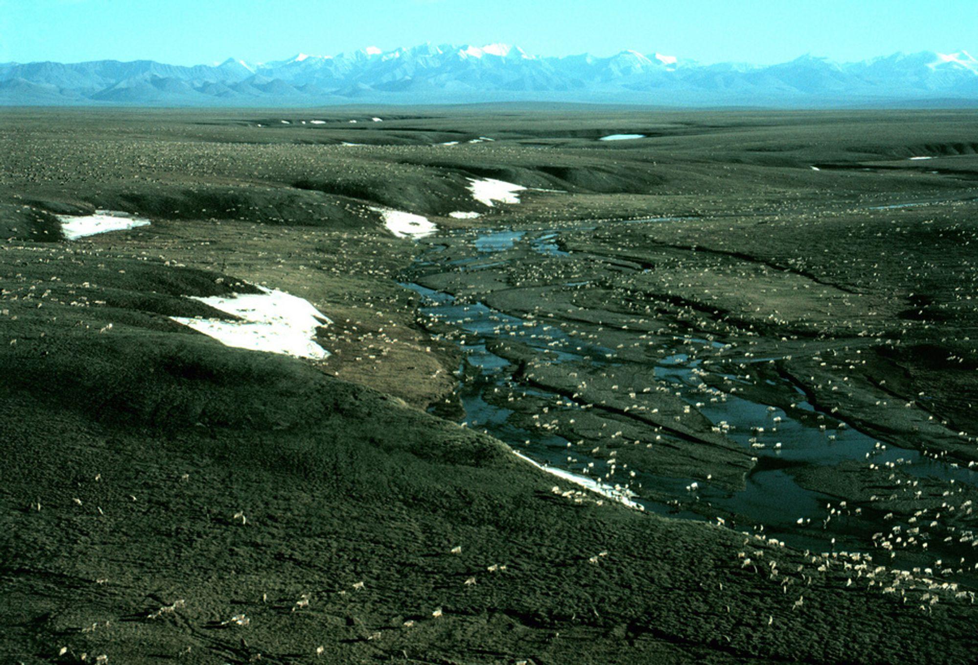 ENDRES: En reinsdyrflokk gresser på en slette i Alaska, med fjellkjeden Brooks Range i bakgrunnen. Over hele Arktis finnes det nå tegn til at klimaet er i ferd med å endre seg, ifølge amerikanske forskere.