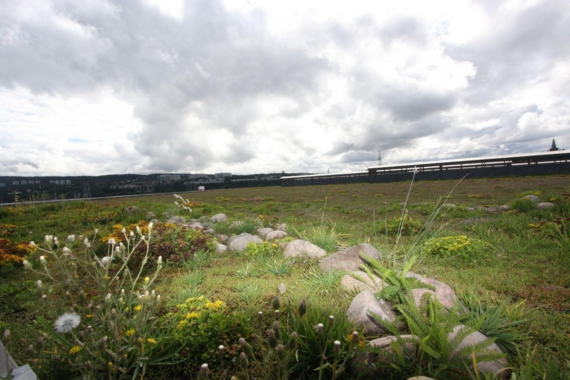 NORDENS STØRSTE: Fra bakken synes det overhodet ikke, det 28000 kvadratmeter store grøntanlegget på taket til Veolias miljøanlegg. Taket erstatter manglende naturlig drenering av regnvann til grunnen. Plantene tar opp til 50 prosent av vannet  og forsinker avrenningen av resten.