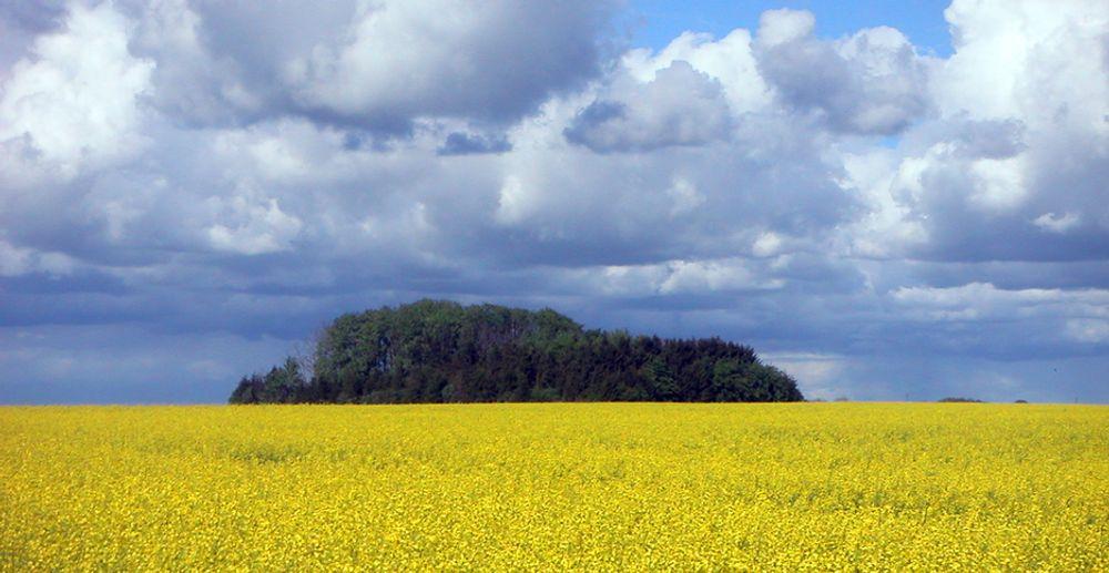 Blomstrende rapsfelt i Skåne, Sverige. Raps brukes blant annet til å produsere biodiesel.