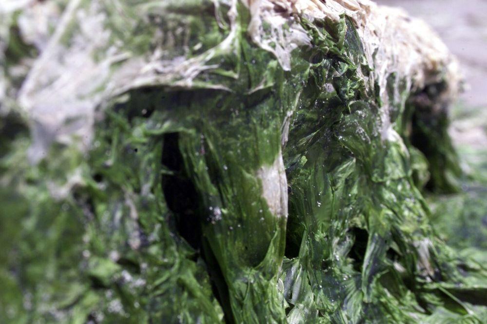 Alger kan produsere bioolje til drivstoff gjennom fotosyntese, og krever ikke matjord eller ferskvann.