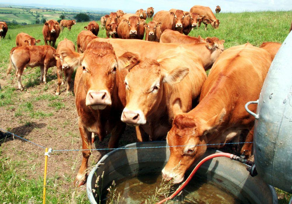 Ku storfe kjøtt gård landbruk kuer husdyr gjødsel foring