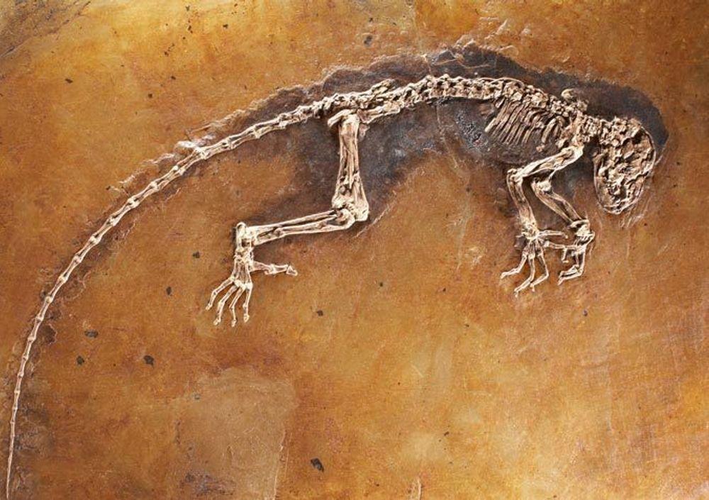"""BARE PÅ NETT: Det var ikke nok å publisere artikkelen om fossilet """"Ida"""" på nettet. Artikler må også foreligge i trykket utgave for at det latinske navnet skal være godkjent."""
