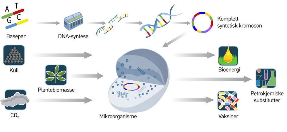 NYTT LIV: Målet på noen års sikt er å bygge et komplett syntetisk kromosom basert på gener som er konstruert og syntetisert på laboratoriet. Klarer vi det kan vi skape alt fra råmaterialer, farmasøytiske produkter og bioenergi fra råstoffer som planter, kull eller CO2.