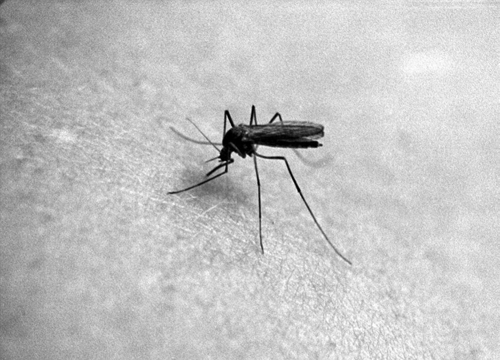MALARIA: Et fuktigere og varmere klima kan føre til at vi får malariamygg på Østlandet om noen ti år, mener DN.