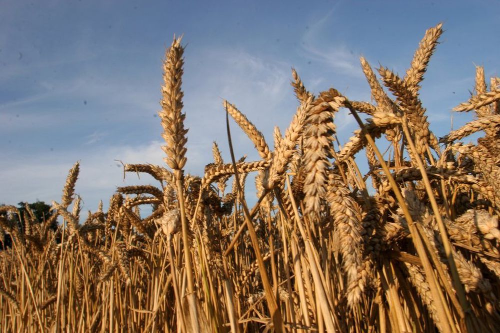HØYE KORNPRISER: For høye kornpriser og for lav pris på bioetanol har ført til at Statoil nå skrinlegger en bioetanolfabrikk i Danmark.