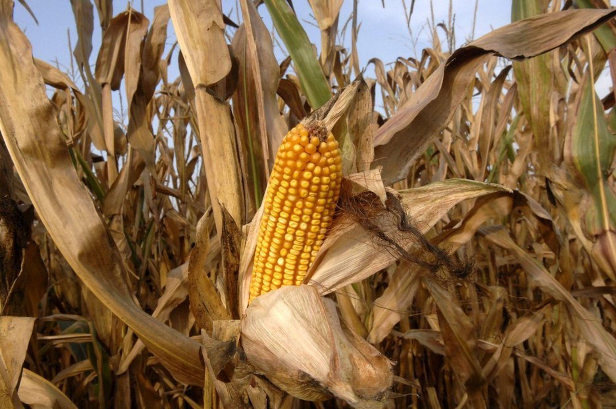 Bioetanol fra mais kan være langt bedre enn tidligere antatt, ifølge en ny rapport fra forskere ved Yale University.