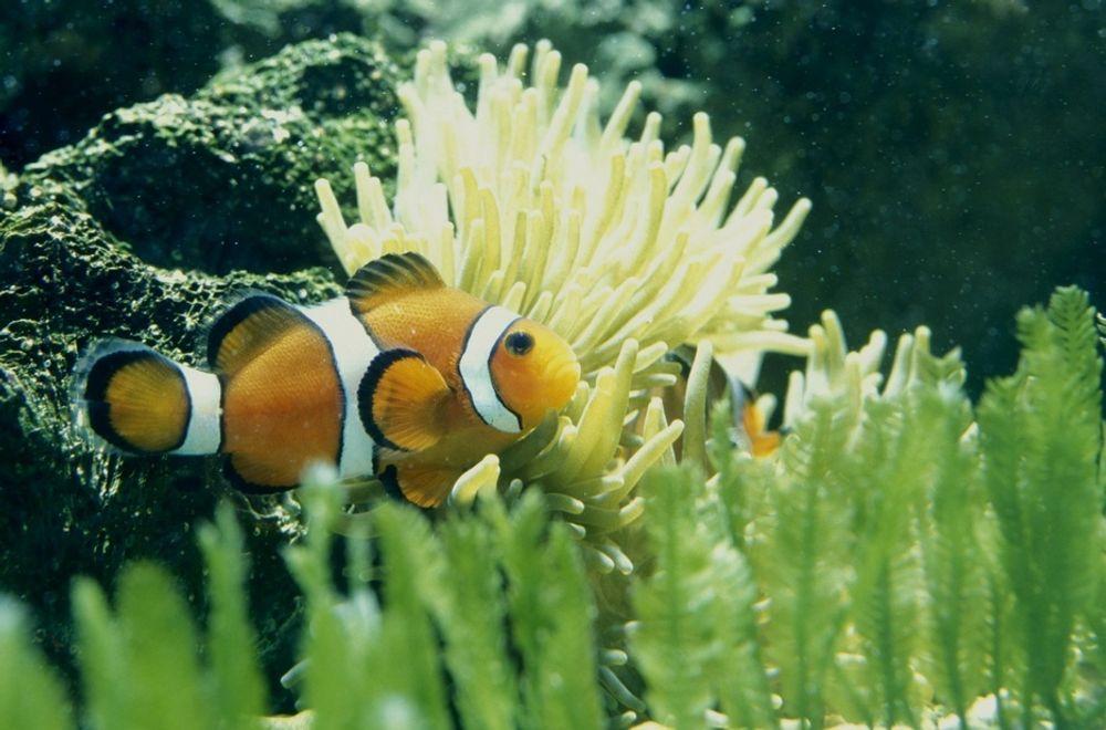 SLITER: Både korallrev, fisker og planter i havet får vanskeligere leveforhold som følge av at havene blir surere. Og det gjør de i et forrykende tempo, ifølge forskere.
