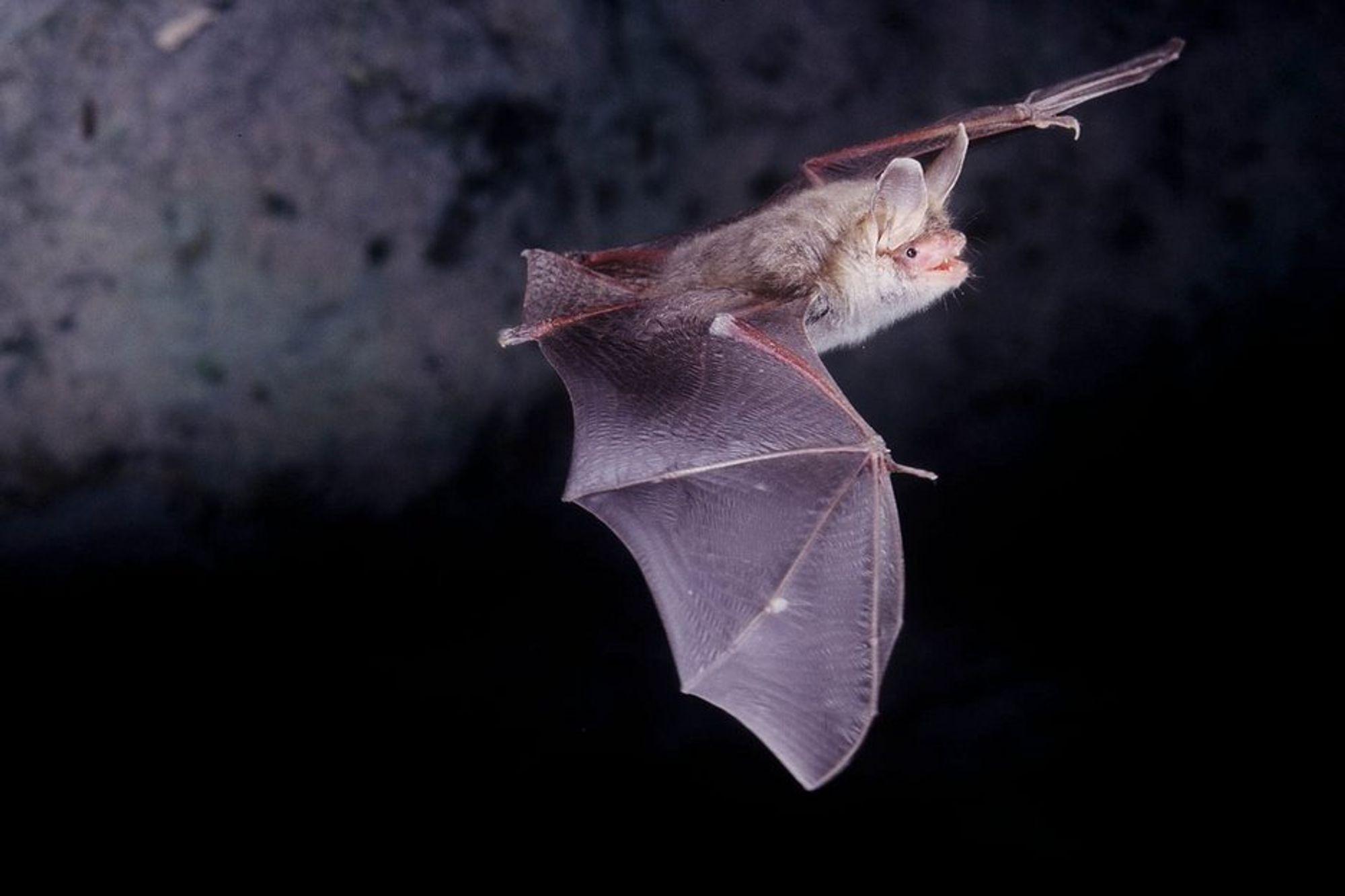 TÅLER IKKE TRYKKET: Flaggermus som flyr nær vindkraftparker får indre blødninger.