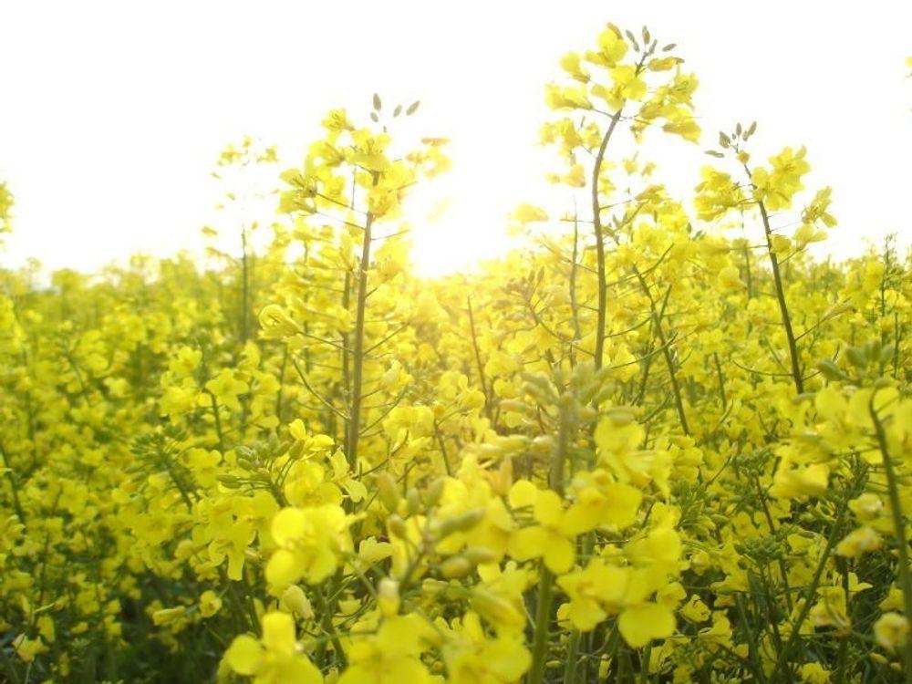 Dagens biodiesel lages bl.a. av oljeveksten raps.