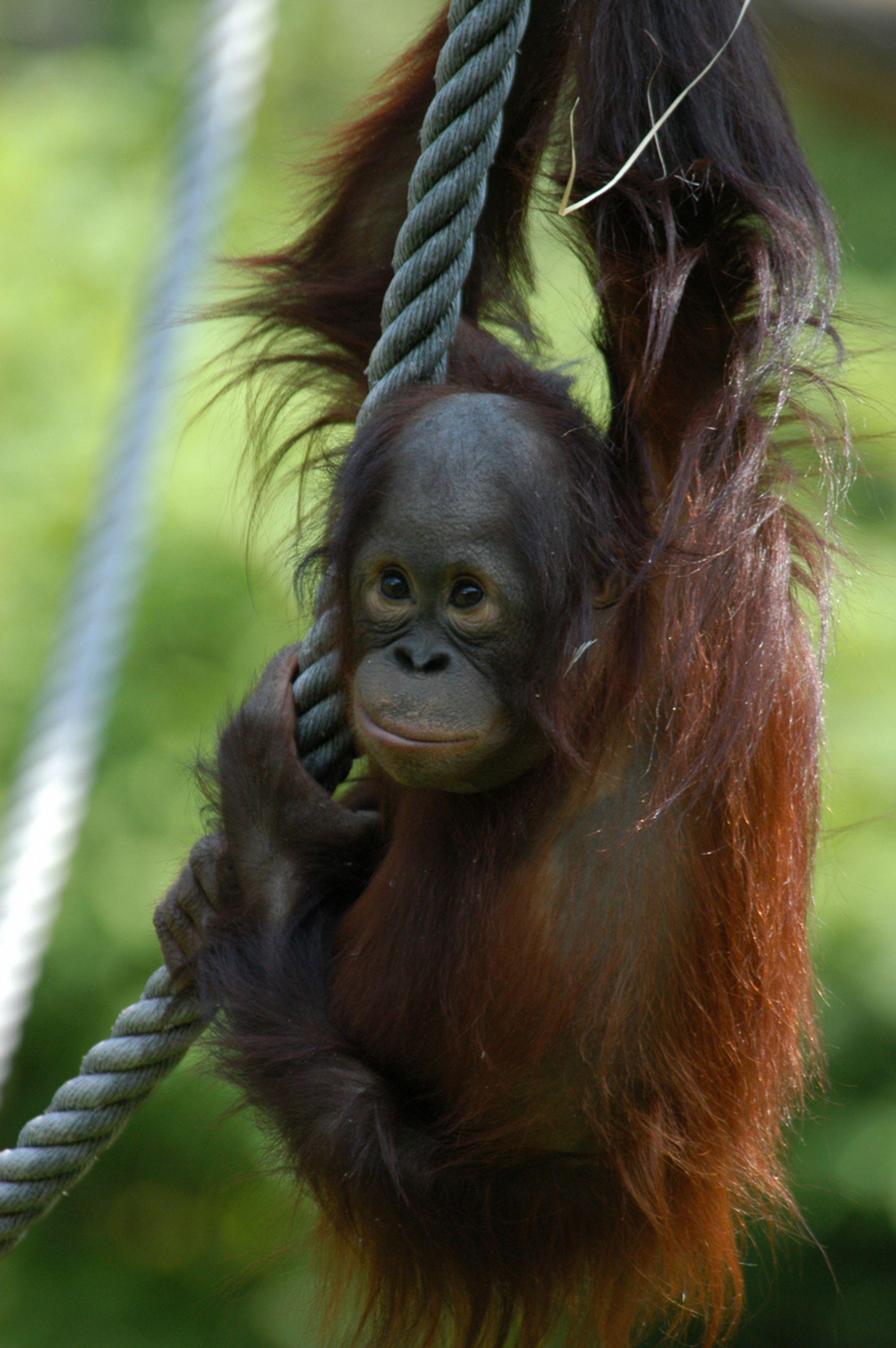 ORANGUTANG FØRST UTE: Orangutangen er det første dyret som skal prøve seg på internett.  Foto: Apenheul, Jolan van Leeuwen Stikkord: Ape.