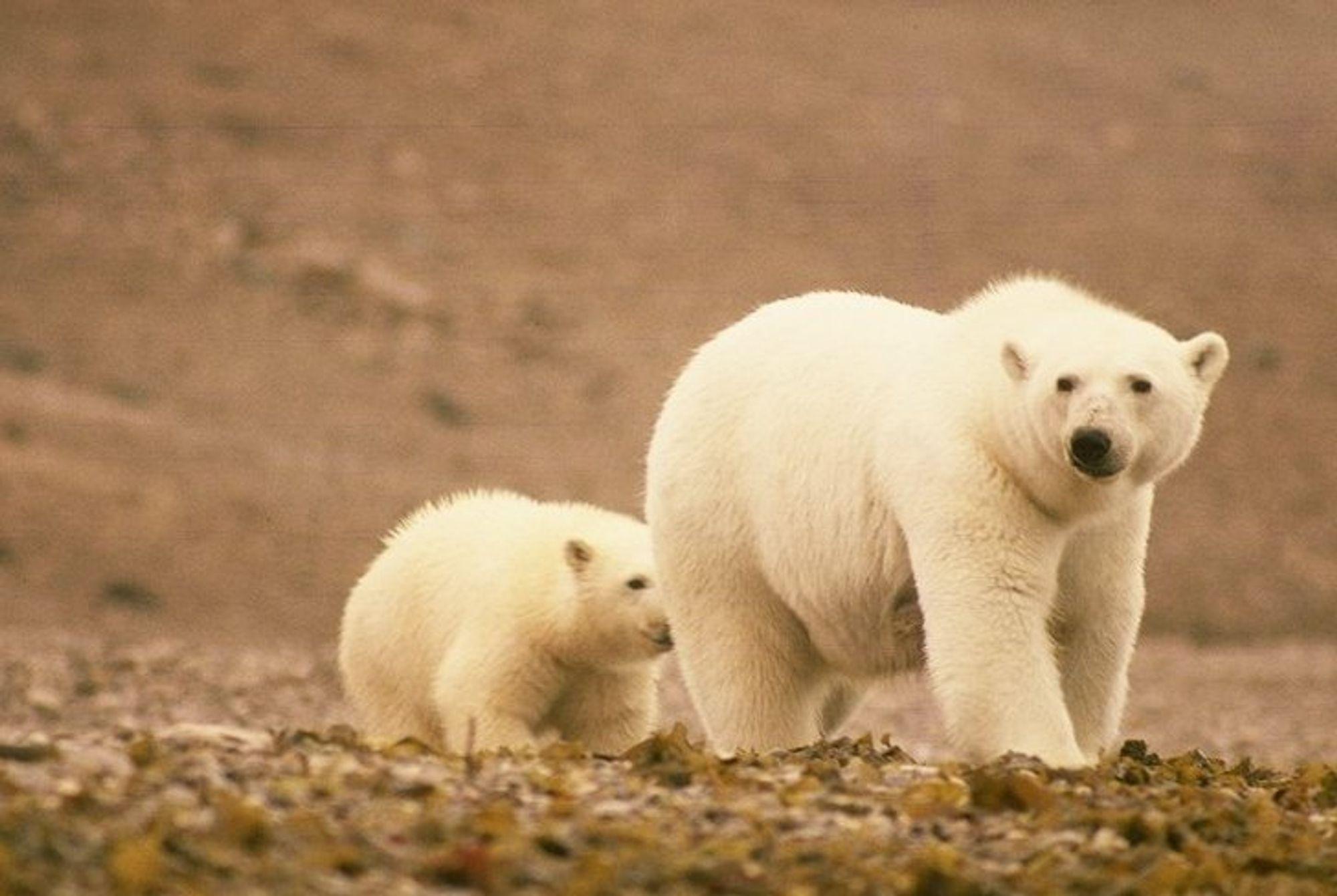 To isbjørner på vandring med fast grunn under føttene.