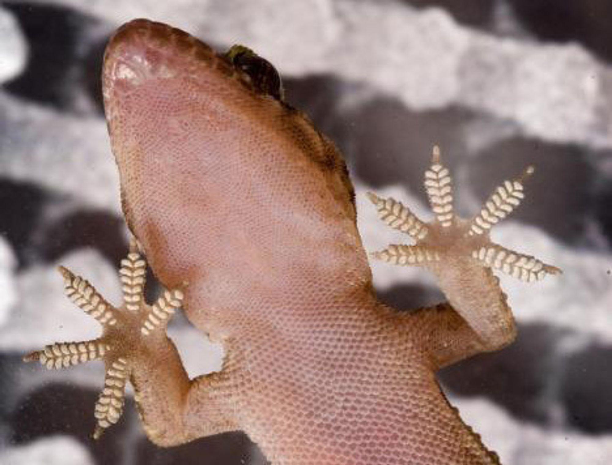 FAST: Forskere mener de kan lage en tråd av nanorør som har langt bedre festeevne enn selv gekkoens tær.