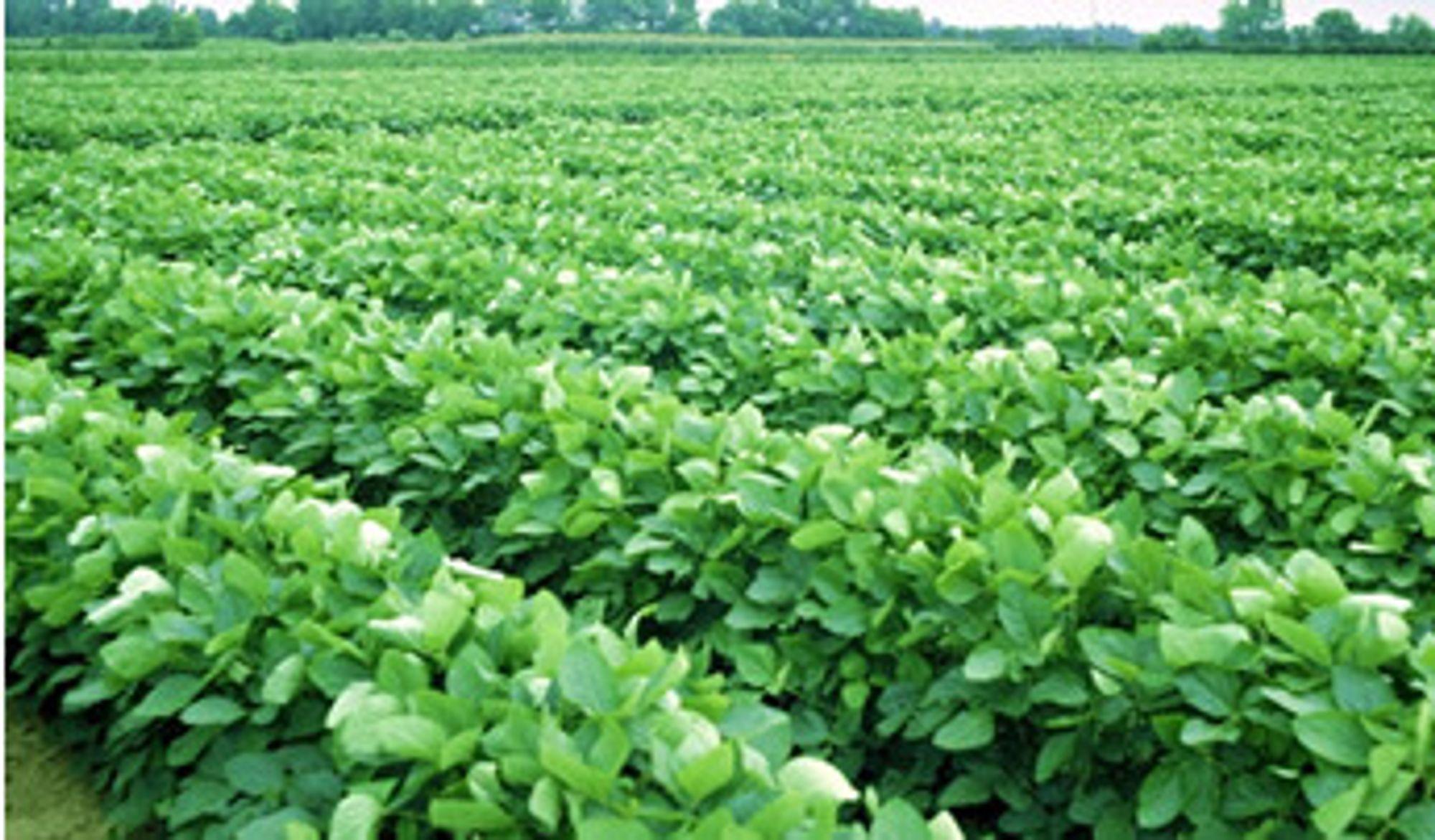 Avlingene blir dårligere. Genmodifiserte soyabønner har medført økt bruk av sprøytemidler.