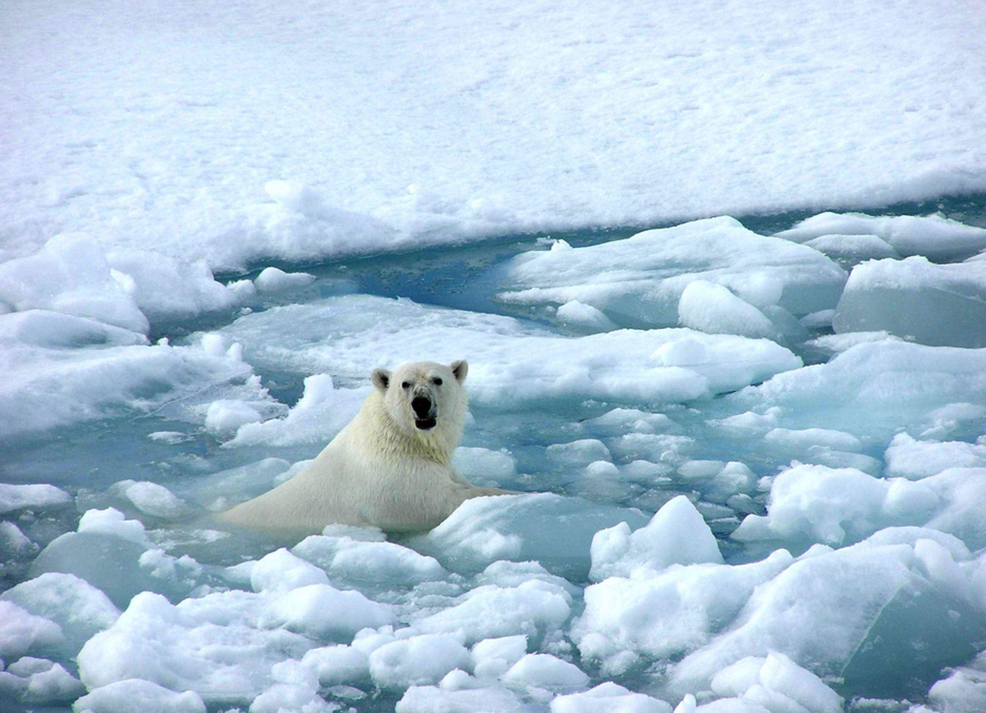 TRUET: Isbjørnen er avhenging av isflakene for å kunne fange sel. Minker isen, minker mattilgangen.