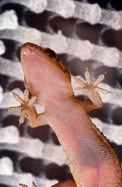 GEKKO: Det som gjør at en gekko klatrer på hva som helst, også i taket, er millioner av små hår med splittet tupp og noe som nesten ligner strandsko. Kreftene som gjør det mulig er de svake, van der Waal'ske.