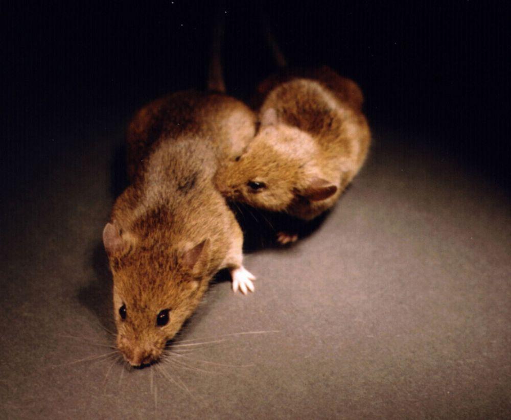 Som oss mennesker trives mus best med god plass rundt seg. Stressede situasjoner, som isolasjon, gir dem økt risiko for å utvikle Alzheimer.
