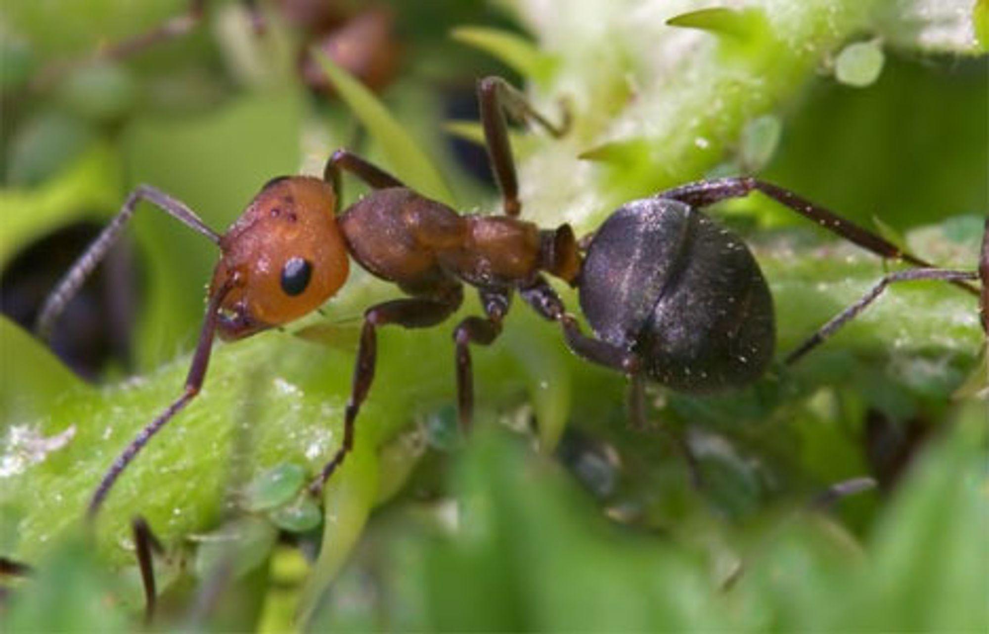 Maur teller skritt