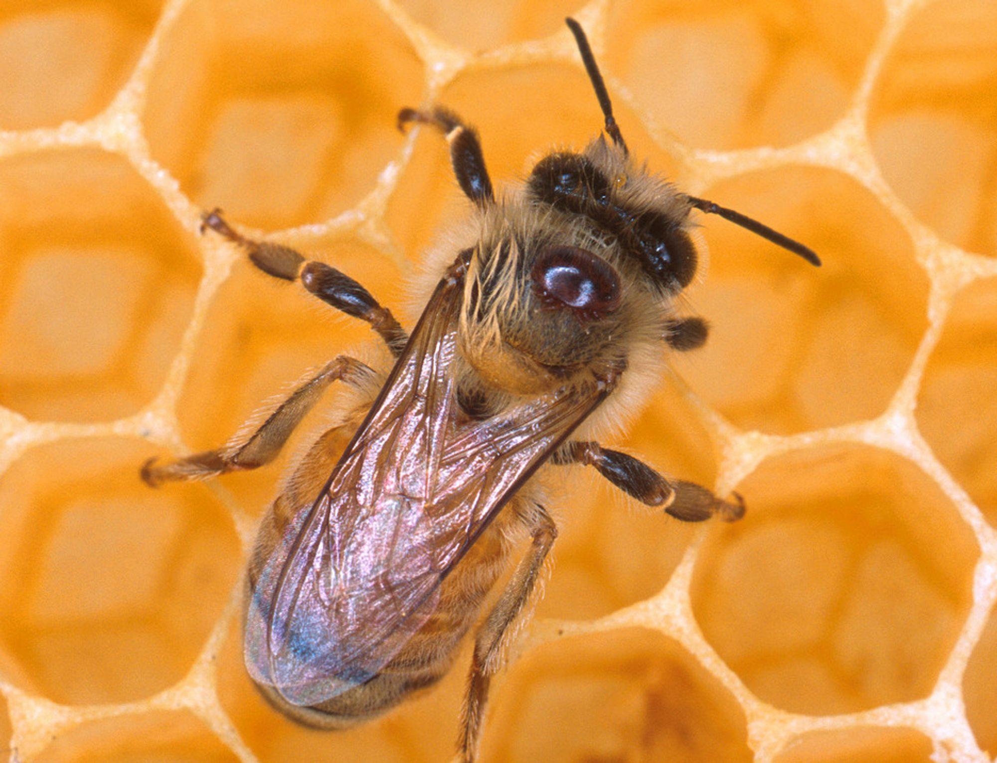 TRENES TIL KRIG: Dette er en representant for USAs nye luftforsvar: En honningglad bie.