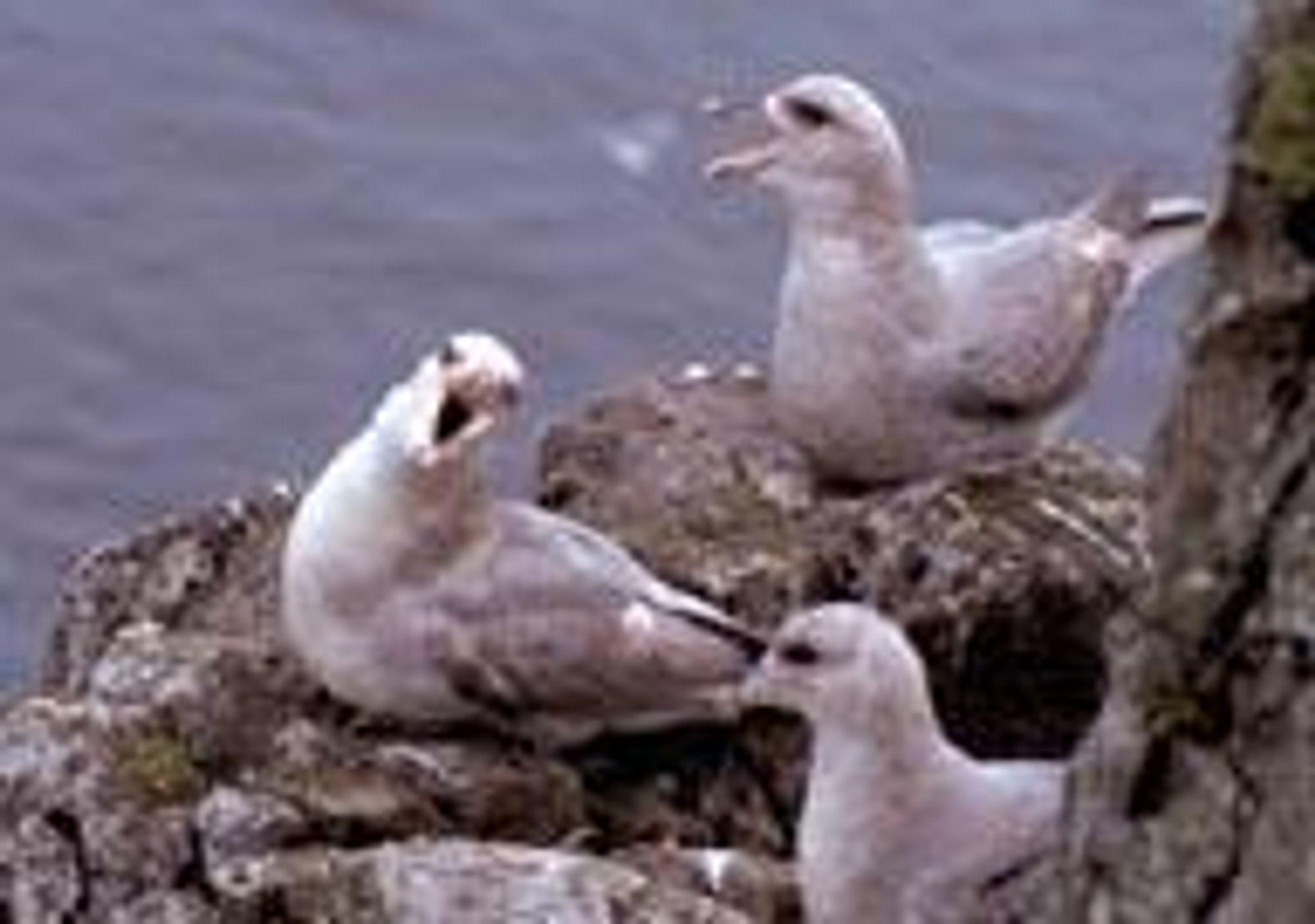 Fuglevarianten av havhest.