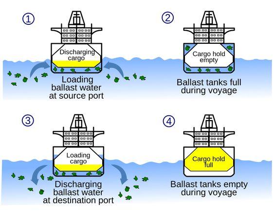 1. Lasten losses, ballastvann pumpes inn.2. Lasterom er tomme. Skipet går i balast, det vil si at ballasttankene fylles for å gi skipet  stabilitet og riktig trim. 3.Last tas inn – ballastvann tømmes ut.4.Fullt lasterom, tomme ballasttanker FN-organet IMO vedtok i 2004 å påby rensing av ballastvann for å hindre spredning av organismer til nye farvann. Konvensjonen er pr. desember 2015 ennå ikke ratifisert.