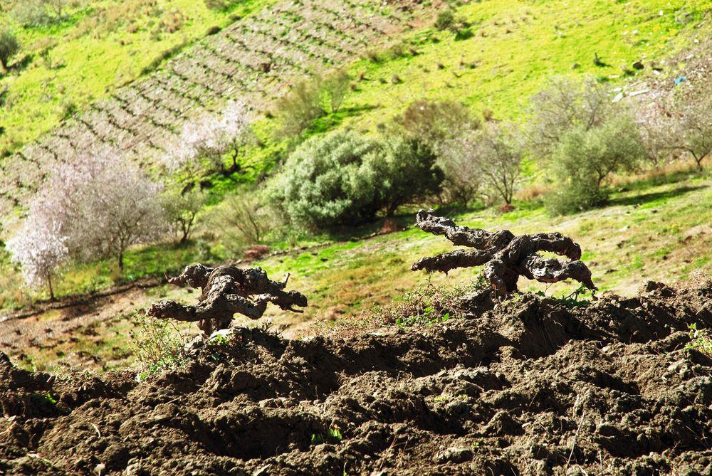 De eldgamle vinplantene vokser nesten rett på fjellet.