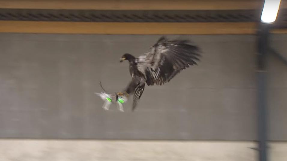 I Nederland trener de opp ørner for å stoppe droner