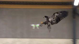 LOW-TECH: Ørn setter klørne i en drone.
