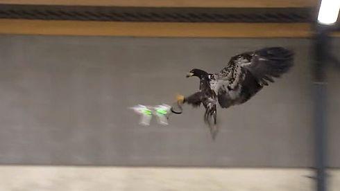 Nå trener de opp ørner til å angripe droner