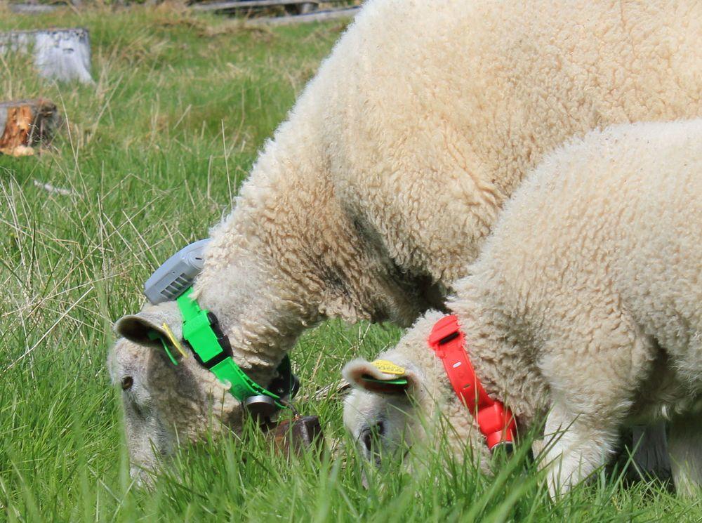 Systemet til Telespor samler lokasjonsdata fra GPS-mottakere rundt halsen på sauene.