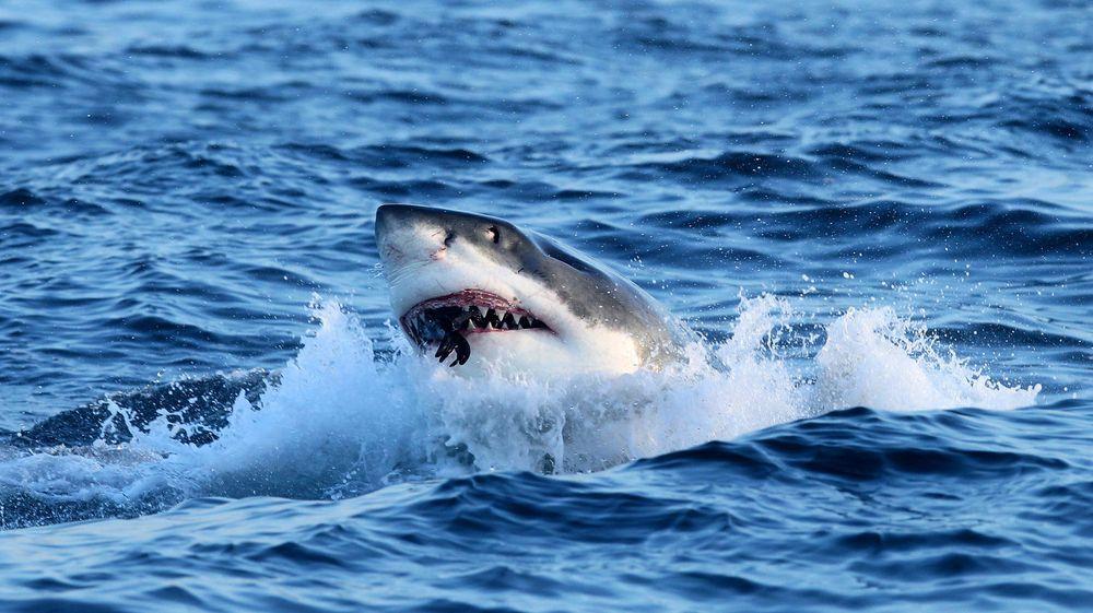 Hvithaien på bildet sluker en sel utenfor Cape Town i Sør-Afrika. I Australia har myndighetene begynt å spore kjempefiskene og melde om fare via sosiale medier.