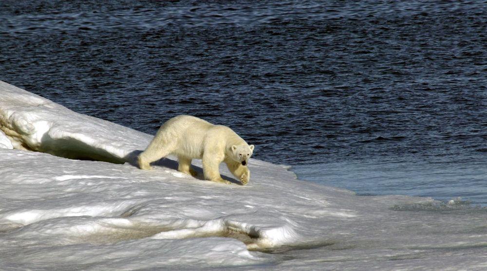 Norsk Romsenter og Telenor ønsker å skyte opp to satellitter som skal gi internettaksess i Arktis, der det ikke er dekning. Isbjørnen på bildet har trolig helt andre utfordringer.