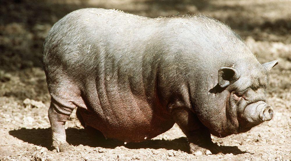 Nettsider kan variere stort i størrelse, ikke ulikt det vietnamesiske hengebuksvinet, som på bildet er sterkt overvektig.