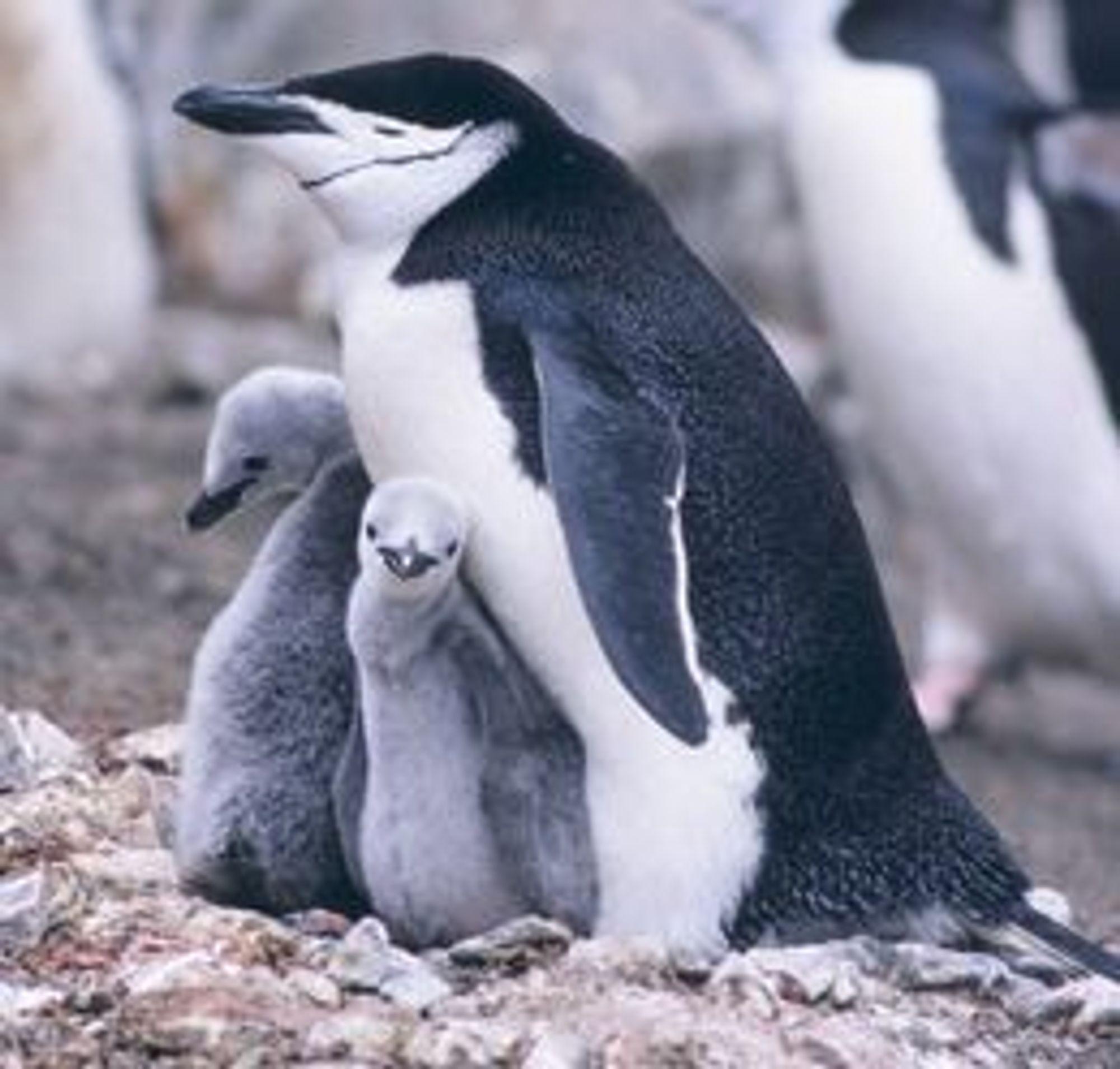 Pingvinene på Bouvetøya vil neppe ha noe å innvende mot Norids planlagte bruk av toppdomenet...