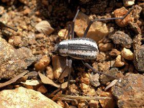 Inspirasjonskilden: Ørkenbillen stenocara gracilipes fra Namib-ørkenen i Afrika.