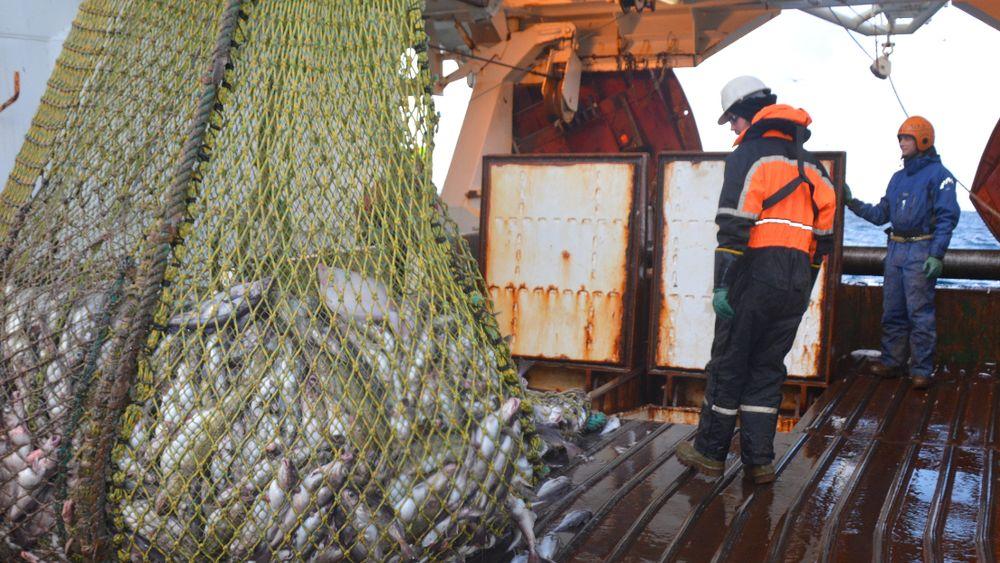 Her er forskerne på tråleren Helmer Hansen. Fisken som hales opp her skal rett i vanntanker med oksygentilførsel, i stedet for å bli lagret i tørrtank.Foto: SINTEF