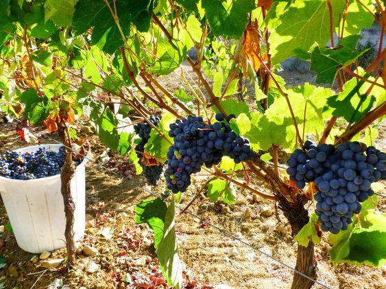 Baga som gir både svært lagringsdyktig rødvin og superfrisk og parfymert musserende.