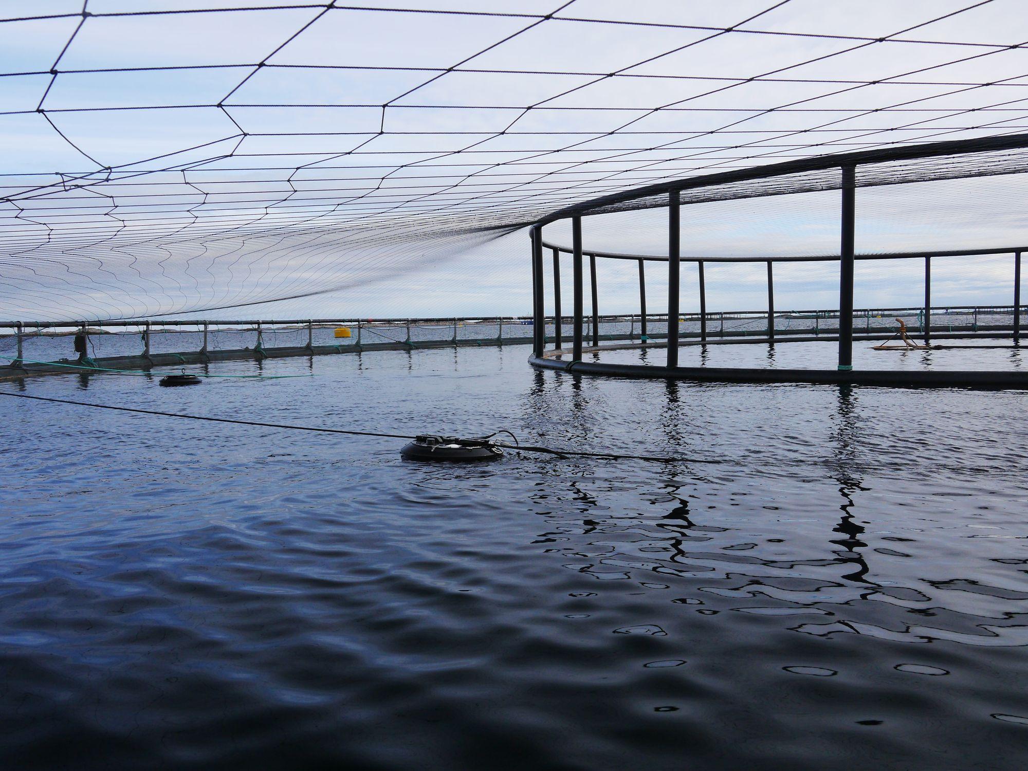 Bare toppen av bøyene skimtes på overflaten i merdene. Under henger noden som skyter lakselus automatisk med laser, helt ned til 30 meter. Foto: Stingray Marine Solutions.
