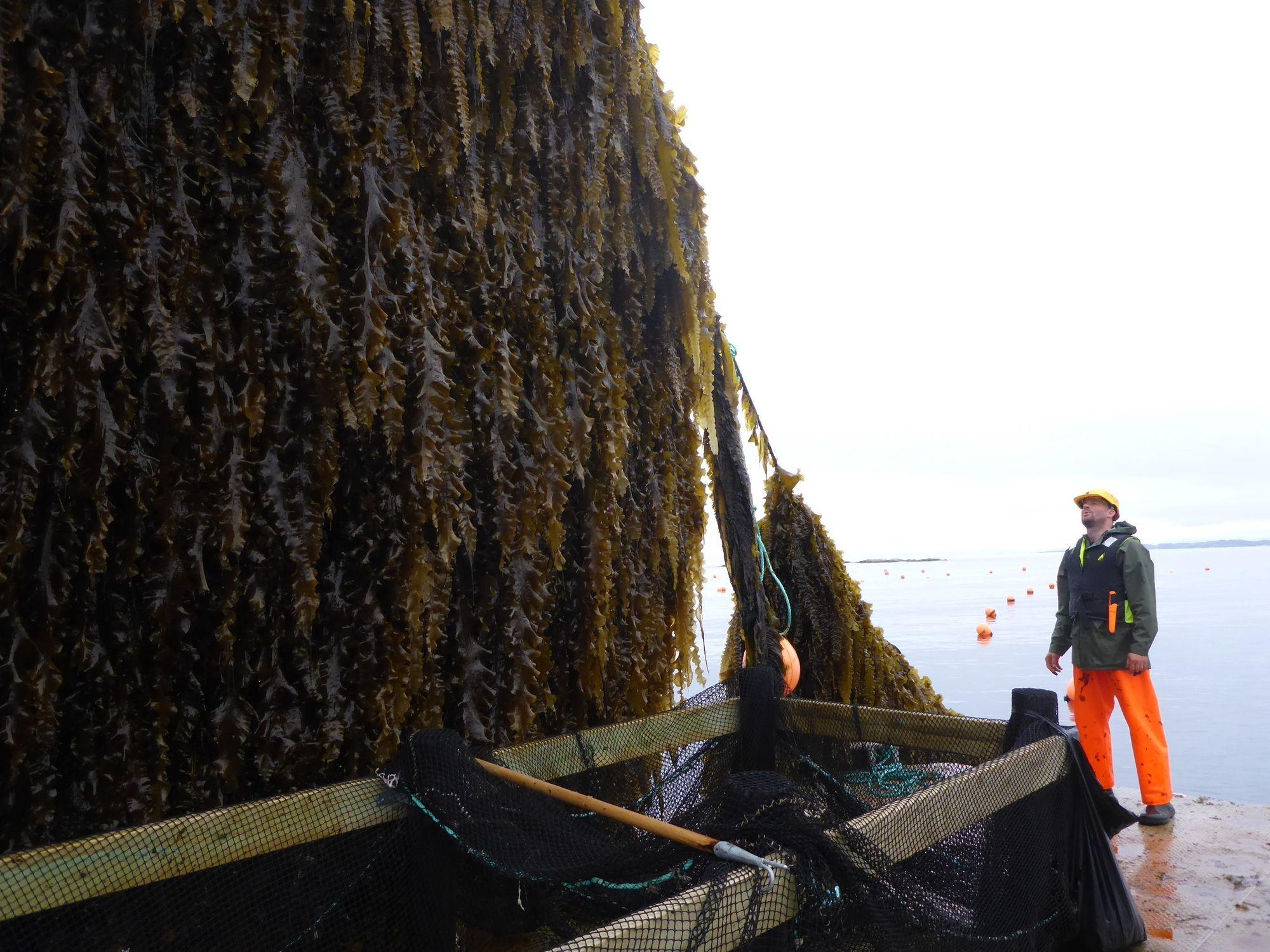 Vokser i turbofart: Taren som ble satt ut i januar var på en centimeter. På fire måneder vokser den til å bli halvannen til to meter, og vokser med større hastighet enn både regnskog og sukkerroer, ifølge Kaia Kjølbo Rød i Seaweed Energy Solutions.