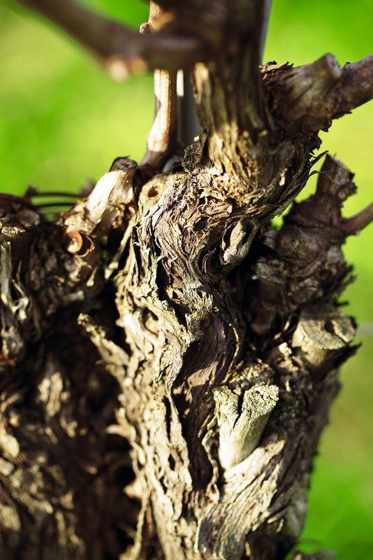 Denne vinstokken gir druer til Borgo San Danieles Gortmarin.