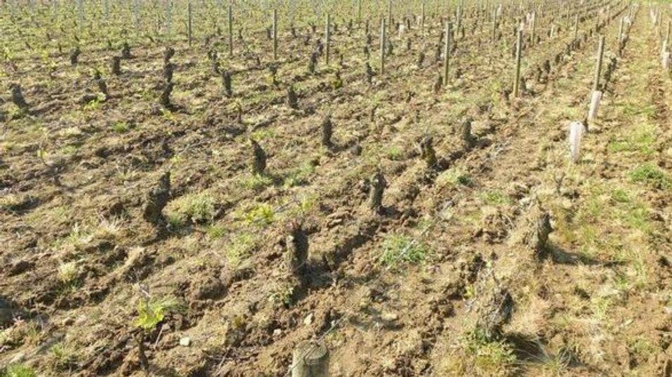 BRANSJE: Katastrofale følger i Chablis, Burgund, Cognac og Beaujolais