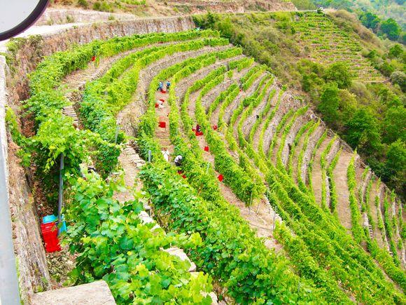 Vinmarken Cortezada under innhøstningen.