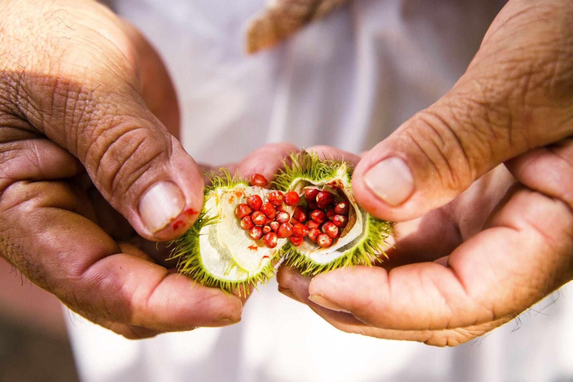 Det er disse frøene som er ingrediensen i achiotepasta.