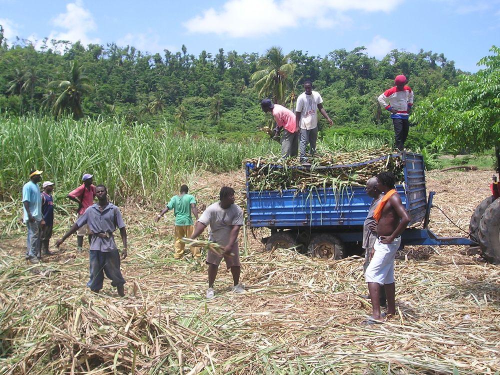Innhøstning av sukkerør.