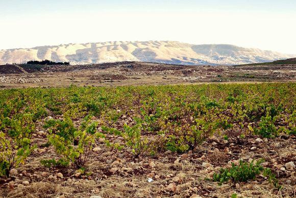 Høytliggende vinmark med bush vines.