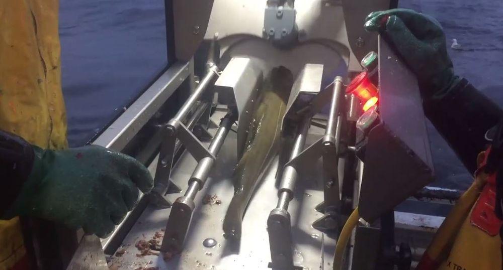 Fisken er plassert i maskinen. Hodet kappes og buken splittes i løpet av 2,5 sekunder.