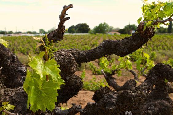 Gamle vinstokker gir ekstra dybde til vinen.