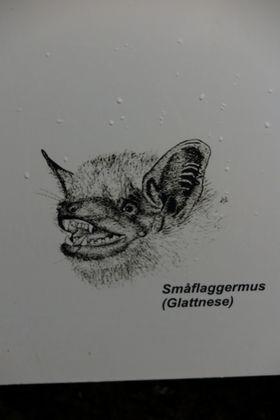 SKREMMENDE: Tegningen viser at flaggermusens kontrafei kan skremme de fleste.