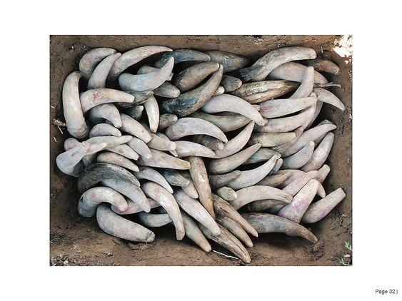 Kuhornene fylles med finmalt kvarts (om våren) eller kumøkk (om høsten) og graves ned.